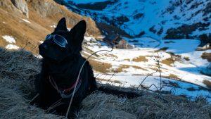Hunde - der Hüttenhund der Ravensburger Hütte